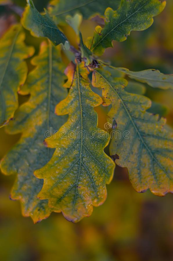 Yellow-green oak leaves on a branch with drops of dew. Shooting at eye level. Macro. Selective focus. royalty free stock photo
