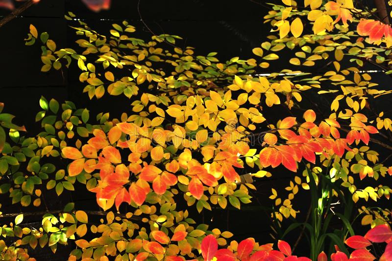 Full Range of Colours, in this Composition of Fall, or Autumn Leaves royalty free stock images