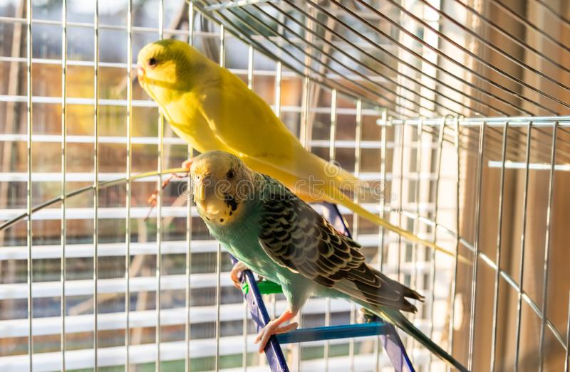 Yellow and green parrots corella is sitting in the cage royalty free stock image