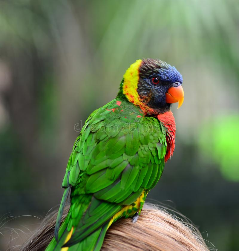 yellow green Rainbow lorikeet parrot bird royalty free stock images