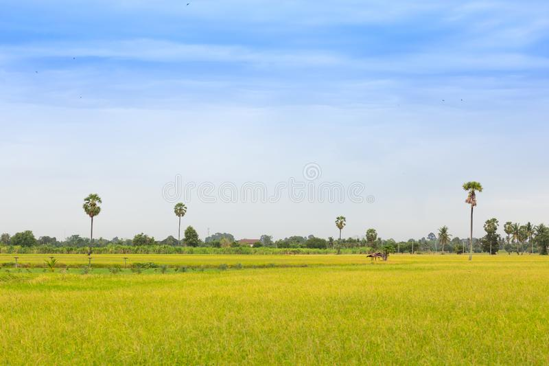 Yellow green rice field. Texture of growing rice, floral backgro stock photography