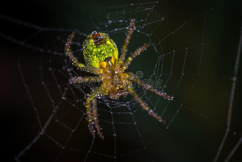 Yellow and Green Spider royalty free stock image