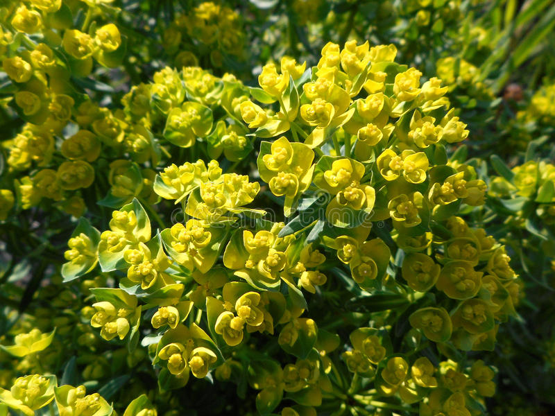 Yellow-green spurge royalty free stock photos