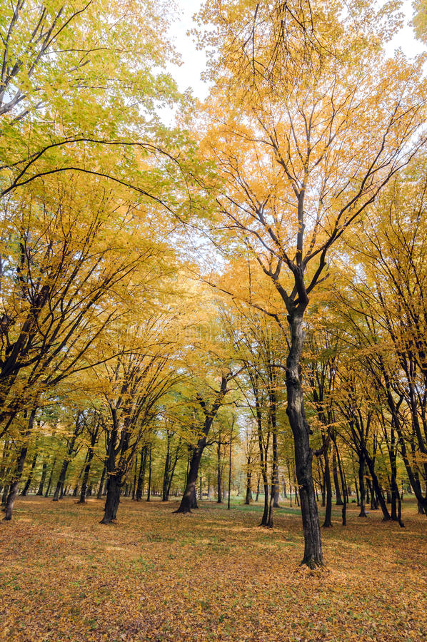 Yellow and green trees in the autumn park stock photos