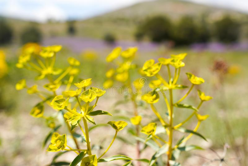 Yellow - green wildflowers. Euphorbia esula royalty free stock images