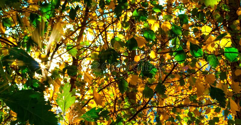 Yellow And Green Leaves Lit By The Sun Rays. Colorful Background. Autumn Golden Foliage. royalty free stock photography
