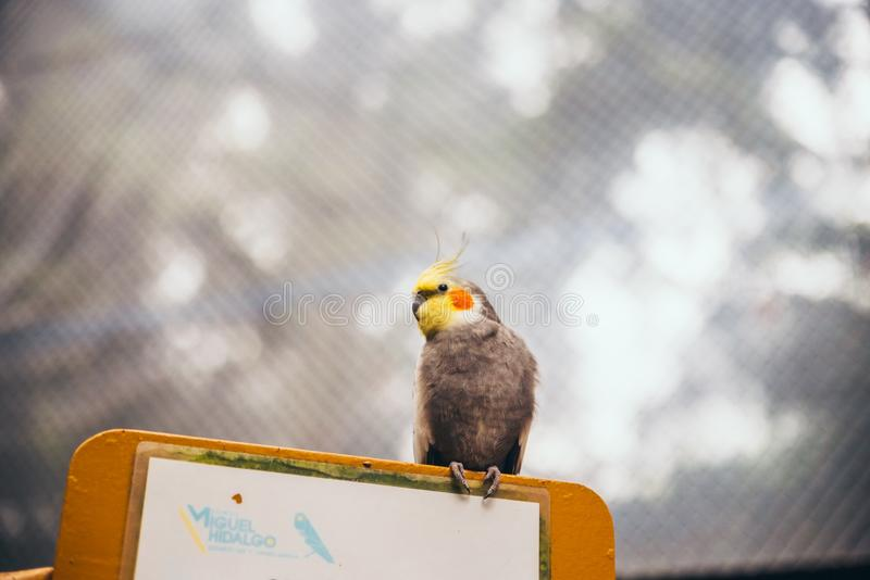 Yellow and grey cockatiel looking up. While he stands on top of a blank sign royalty free stock photo