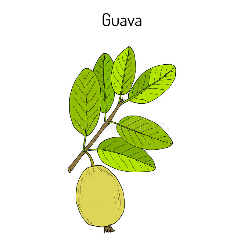 Yellow guava Psidium guajava , tropical fruit vector illustration