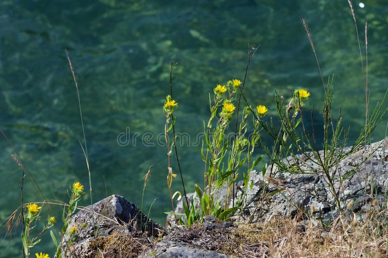 Yellow gum weed grows from the rocks near the water in Saanich Inlet. Vancouver Island, British Columbia royalty free stock photo