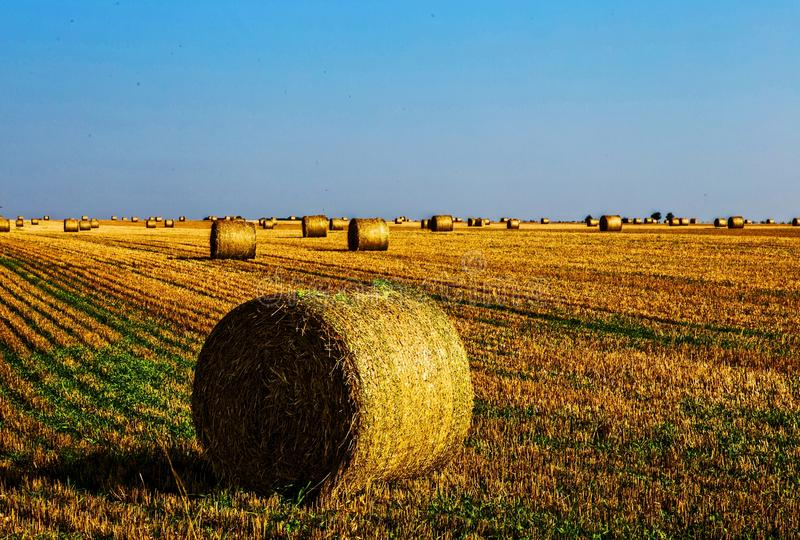 Yellow harvested wheat ballots in field stock images