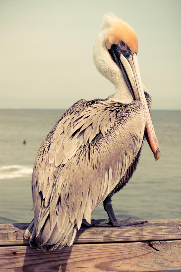 Yellow Head Pelican. At a Beach in Florida with retro effect stock photography