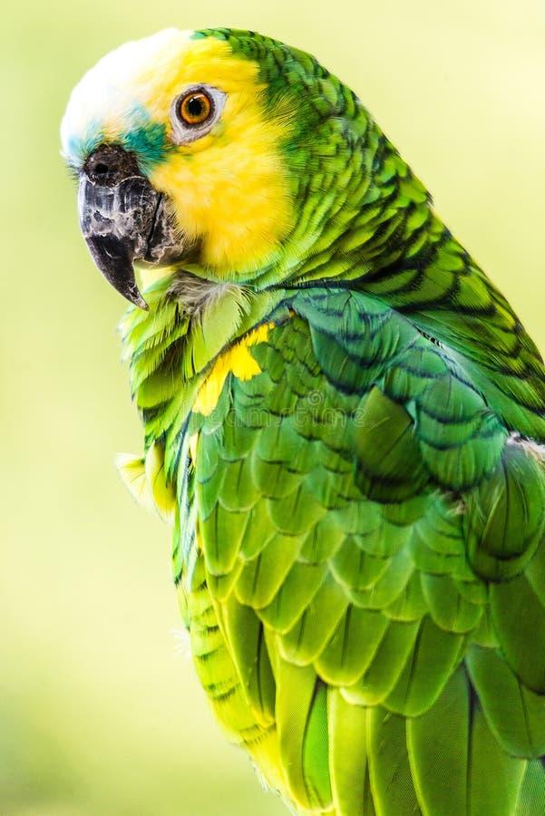 Yellow-headed Amazon bird. The Yellow-headed Amazon, also known as the Yellow-headed Parrot and Double Yellow-headed Amazon, is an endangered amazon parrot of stock photo