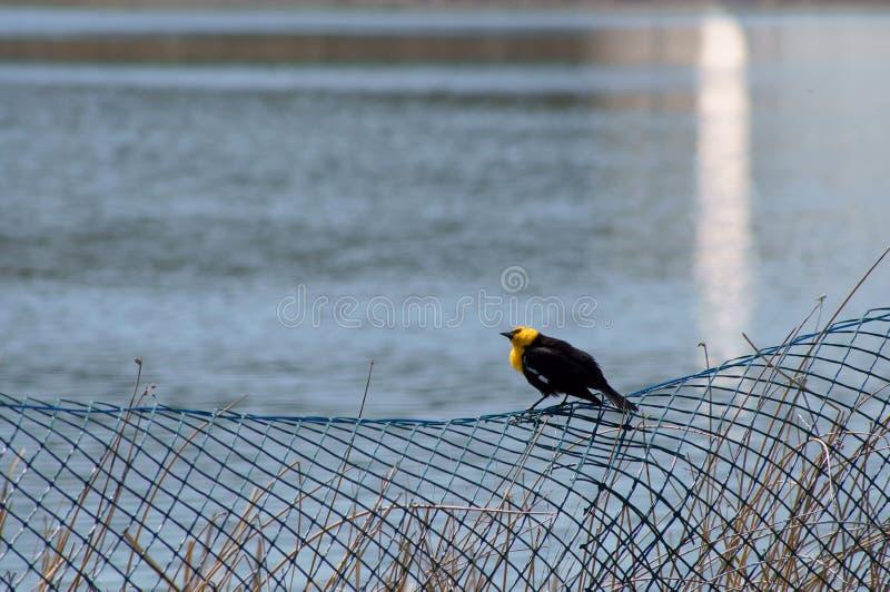 Download Yellow-headed Blackbird Xanthocephalus Xanthocepha Stock Photo - Image of fauna, bear: 32199906