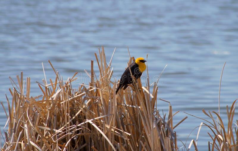 Download Yellow-headed Blackbird Xanthocephalus Xanthocepha Stock Image - Image of color, columbia: 32199947