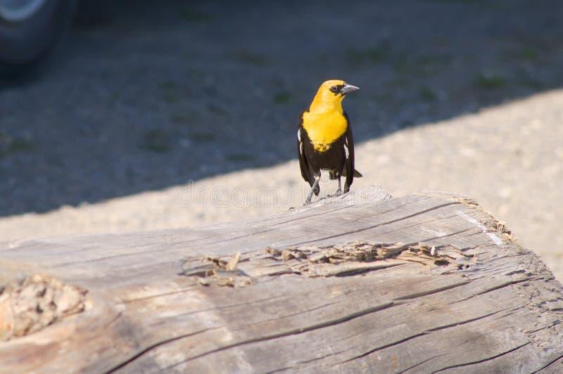 Download Yellow-headed Blackbird Xanthocephalus Xanthocepha Stock Photo - Image of headed, brown: 32200114