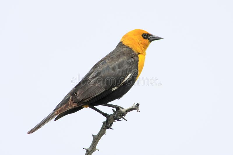 Yellow-headed Blackbird. All through the summer, the Yellow-headed Blackbird (Xanthocephalus xanthocephalus) is commonly seen in marshes around the Pacific royalty free stock photos