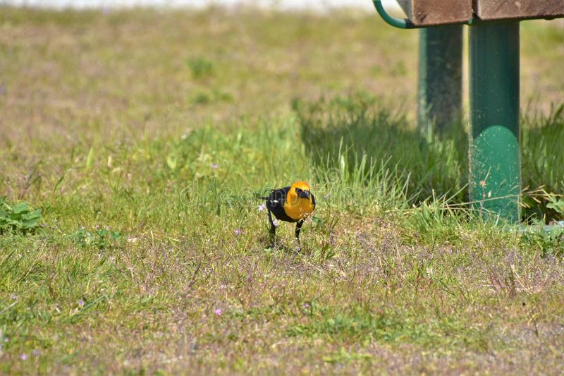 Yellow-headed blackbird is perching on the ground. royalty free stock image