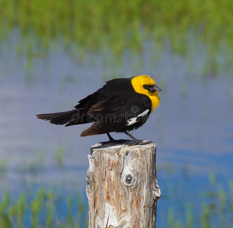 Download Yellow Headed Blackbird (Xanthoocephalus Xanthocephalus) Stock Photo - Image: 31352924