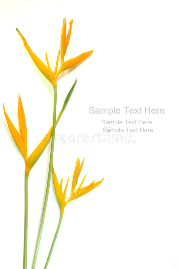 Free Yellow Heliconia Stock Photography - 18315472
