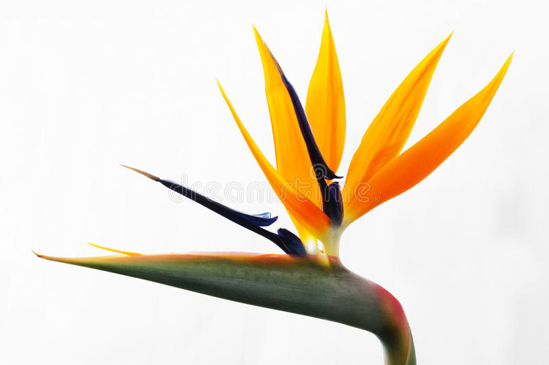 Download Yellow heliconia stock image. Image of bloom, macro, lobster - 22455503