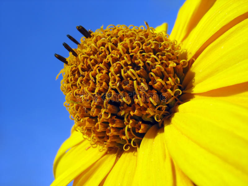 Yellow heliopsis against blue sky background royalty free stock photography