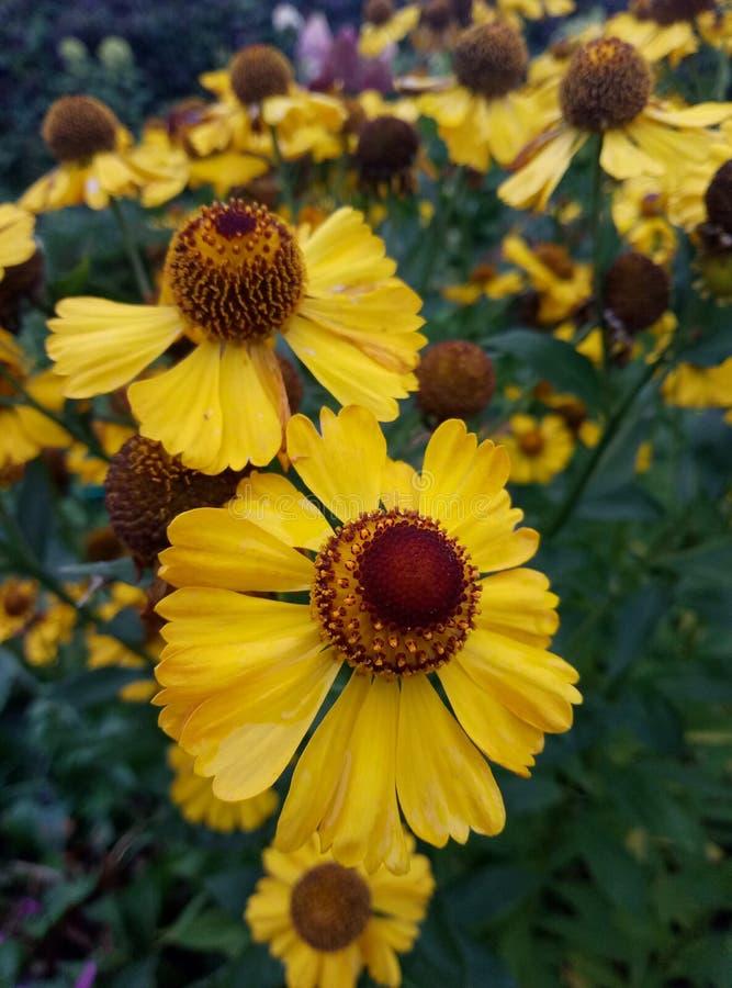 Yellow flower helium. Yellow helium, perennial landscape design stock photography