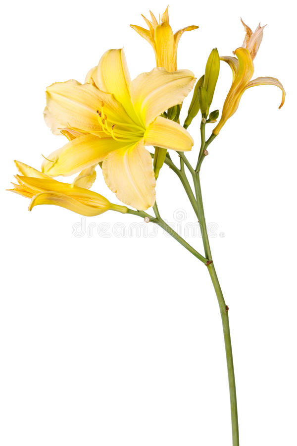 Yellow Hemerocallis, garden flower, isolated white background. Yellow Hemerocallis, garden flower, isolated on white background royalty free stock photo