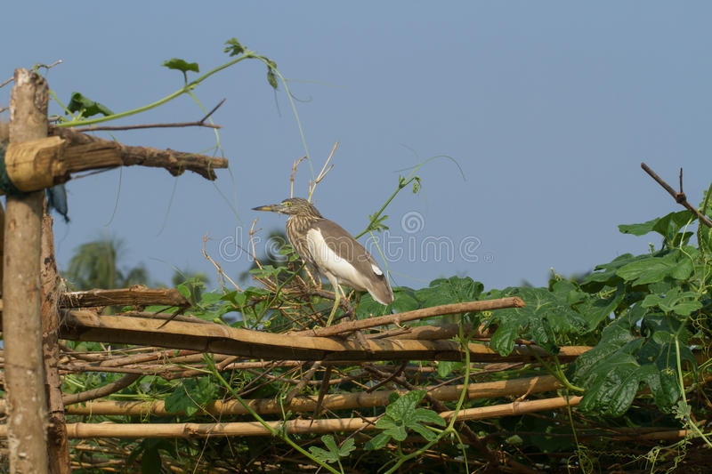 The yellow heron on the fence in the village garden royalty free stock images