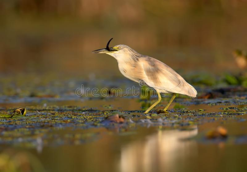 Yellow heron with a prey royalty free stock images