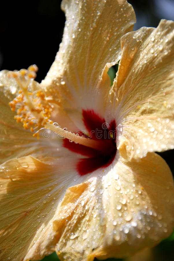 Download Yellow Hibiscus stock photo. Image of hawaii, yellow - 26807596