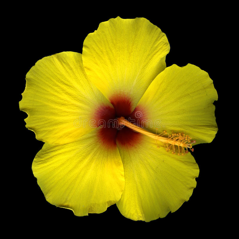 Download Yellow hibiscus blossom stock photo. Image of black, flora - 10839260