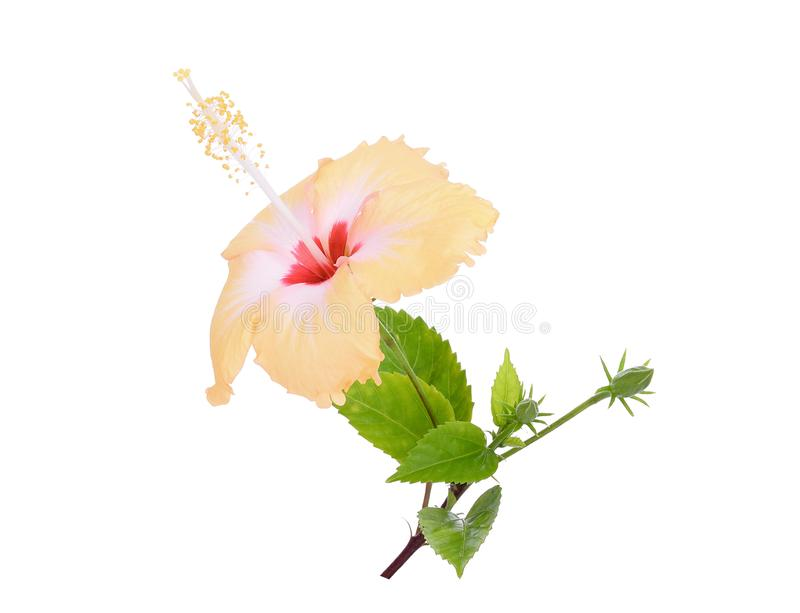 Yellow hibiscus or chaba flower with green leaves isolated stock images