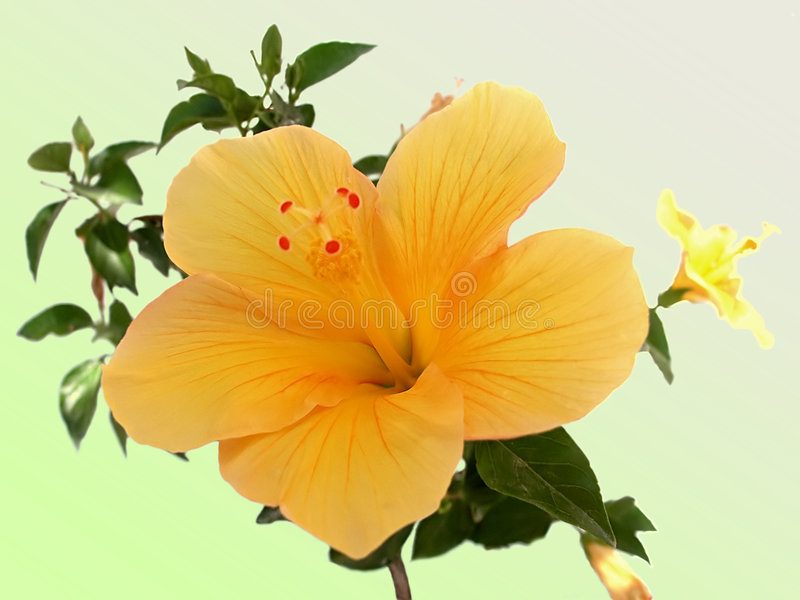 Download Yellow Hibiscus flower stock image. Image of exotic, natural - 4366661