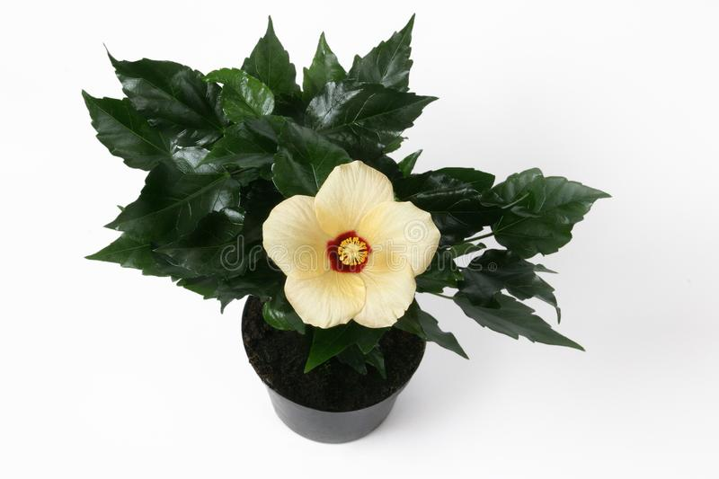 Yellow Hibiscus flower in flowerpot. royalty free stock images