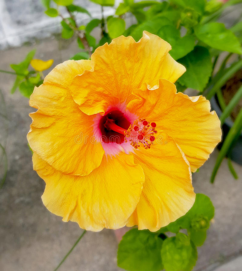 Yellow Hibiscus flower stock photo