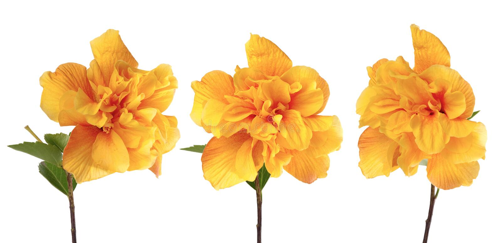 Download Yellow hibiscus flowers stock image. Image of hibiscus - 16308807