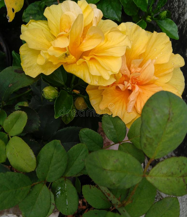 Yellow hibiscus flowers blooming and green leaves plant growing in the garden, nature photography stock photo
