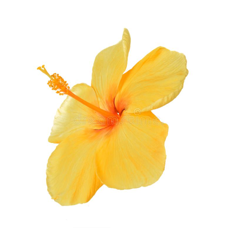 Yellow hibiscus isolated on white background stock image