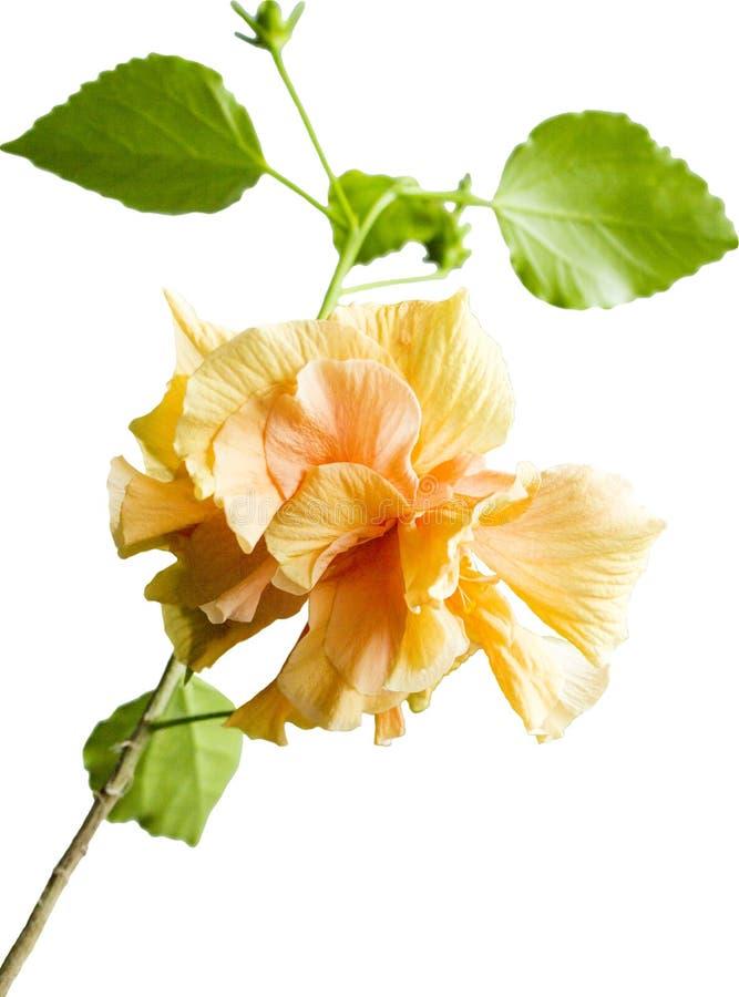 Yellow hibiscus isolated on white stock photo
