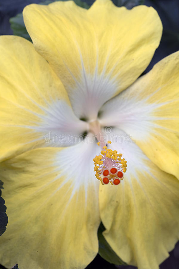 Yellow Hibiscus Macro - Malvacea royalty free stock images