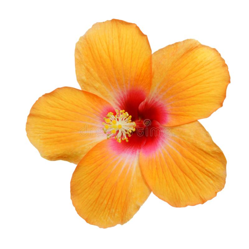 Free Yellow Hibiscus On White Royalty Free Stock Images - 130095389