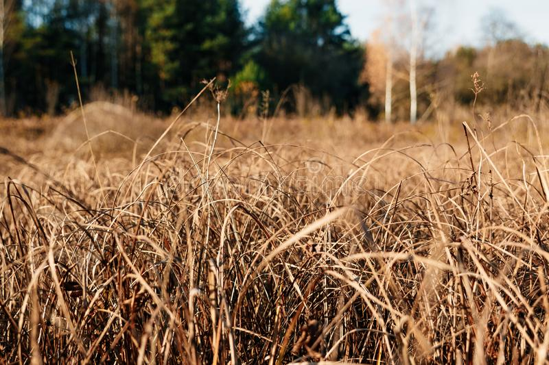 Yellow, high, autumn grass close-up. Autumn day. Dry grass in the field.  royalty free stock image