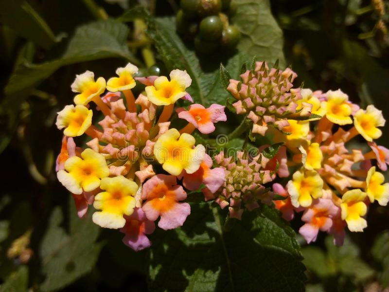 Yellow hinguru flower. Wild flower small one there are three colors yellow,red,wight stock photo