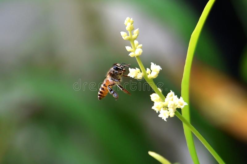 Yellow honey bees have large heads with black lines on their backs stock photography