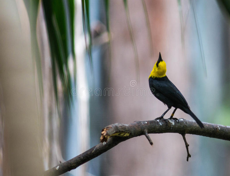 Yellow-hooded Blackbird. At Bronx Zoo, Bronx, New York royalty free stock photo