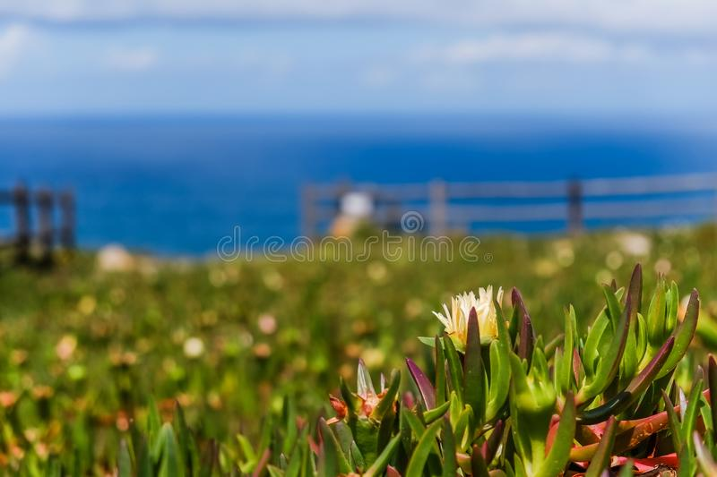 Yellow Hottentot fig flowers field with blurred Atlantic ocean in the background. stock photo