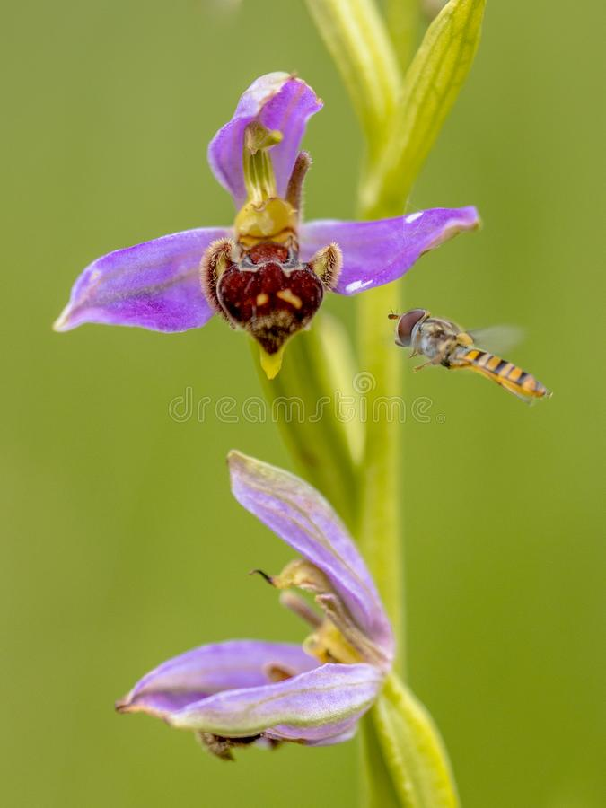Free Yellow Hoverfly Near Pink Flowers Of Bee Orchid Royalty Free Stock Photos - 114015168