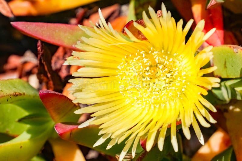 Yellow Iceplant flower Carpobrotus edulis, California stock images
