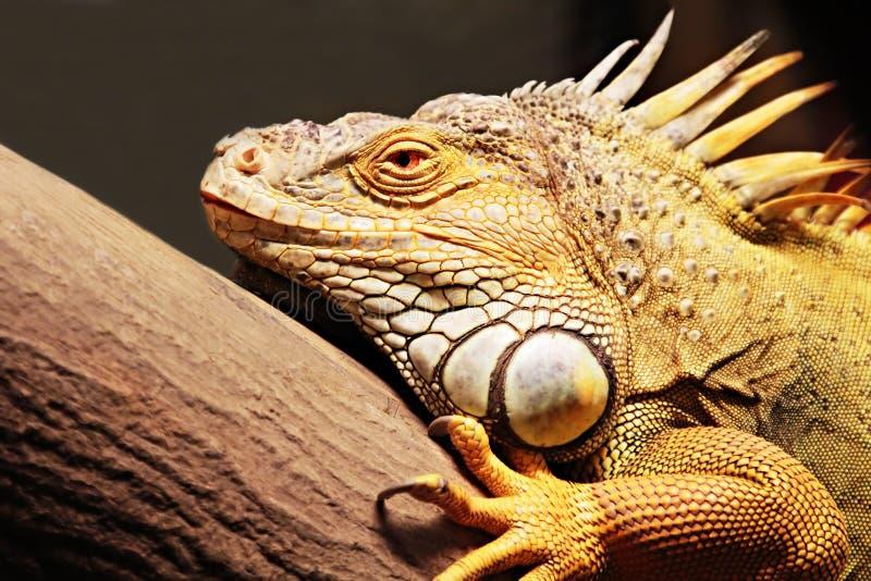 Yellow iguana. Sitting on the tree royalty free stock photography