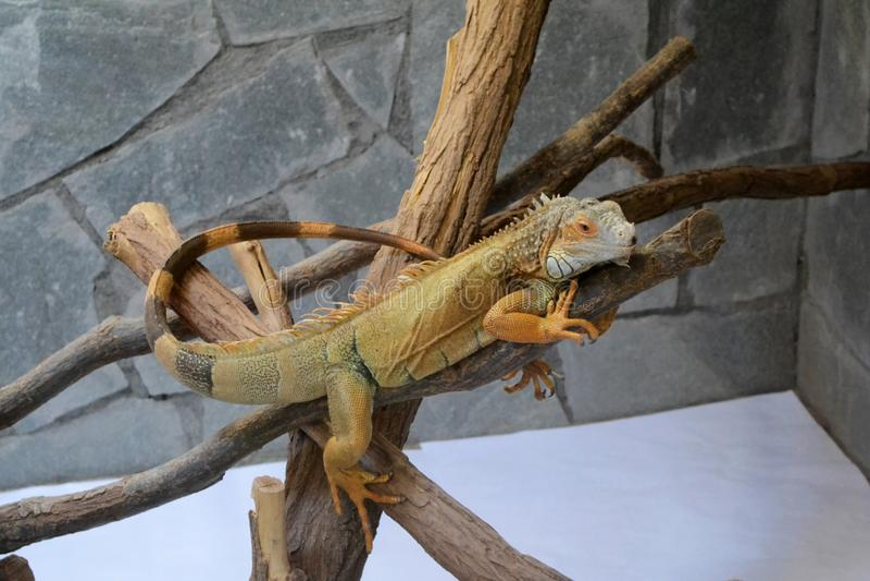 Yellow iguana stock image